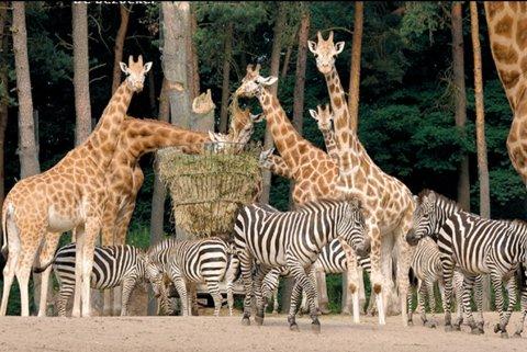 2009-giraffe